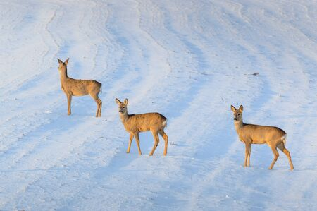 Poland, Roe deer looking out for threats on a snowy meadow.