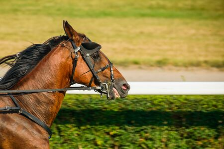 Poland, Bay horse on equestrian competition