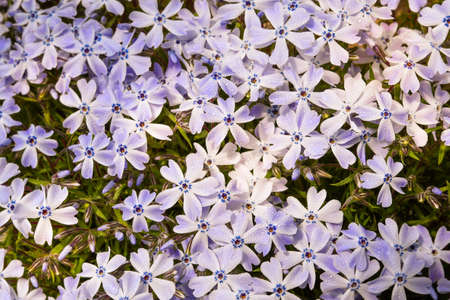 Mocking phlox, white-blue flowers dewy with morning dew. Small developed leaves of the plant are illuminated by the morning sun, some flowers are not yet developed. Spring weather brings garden plants to life.