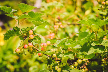 Ribes spicatum, the fruit is slowly ripening in the summer sunshine. Red currant fruits hidden among the leaves of the bush.