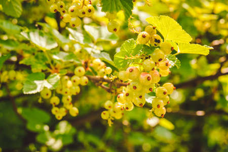 Ribes spicatum, the fruit is slowly ripening in the summer sunshine. Red currant fruits hidden among the leaves of the bush. Reklamní fotografie