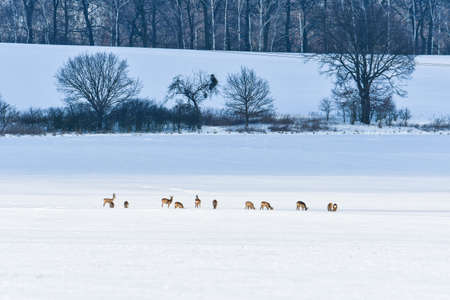 Young roe deer and deer graze in the meadow near the forest in winter. Animals are looking for food under the white snow.