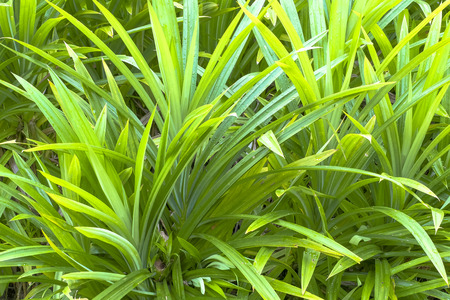 thai herb: Pandan Leaves , Thai Herb
