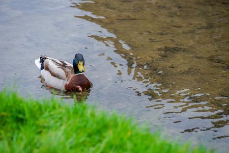 Mallard Duck Floating on The Water