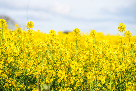 A Yellow Field of Rapeseed Flower, England