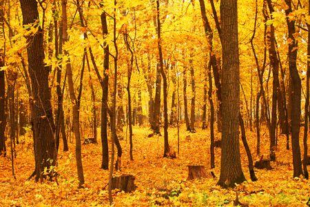 Forest with the orange carpet, orange leaves. Stock Photo - 3693519