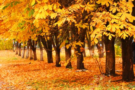Row of the autumnal trees. Orange leaves. Stock Photo - 3693514
