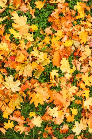 Fallen leaves of the maple. Green grass Stock Photo - 3706796
