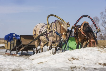 Sledge harnessed to two  horses photo