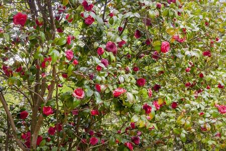 sukhumi: Flower camellia japonica in Sukhumi, Abkhazia