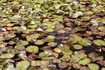 nympha: the Lily pads in the pond in Sukhumi, Abkhazia Stock Photo