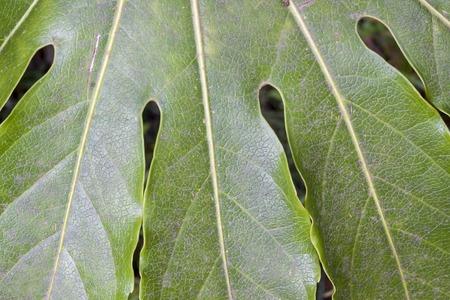 sukhumi: leaf of fatsia japonica in Sukhumi, Abkhazia Stock Photo