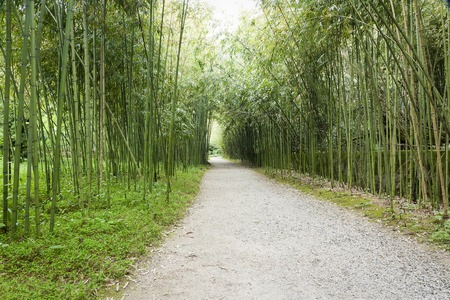sukhumi: bamboo grove in Sukhumi, Abkhazia