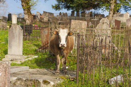 god's cow: cow in the cemetery in Abkhazia, day Stock Photo