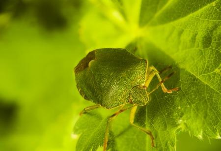 shieldbug: green bug Palomena prasina looking