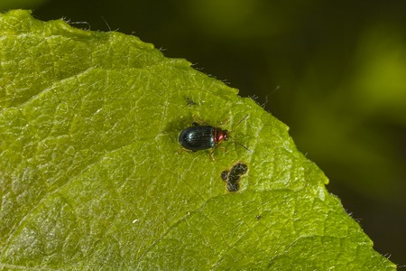 aurata: willow flea beetle (Crepidodera aurata) on the leaf in Russia