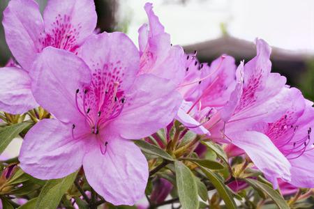 sukhumi: Rhododendron indicum in Sukhumi, Abkhazia