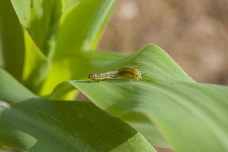 gusanos: Gusano cogollero Spodoptera frugiperda (JE Smith, 1797) en la hoja de maíz Foto de archivo