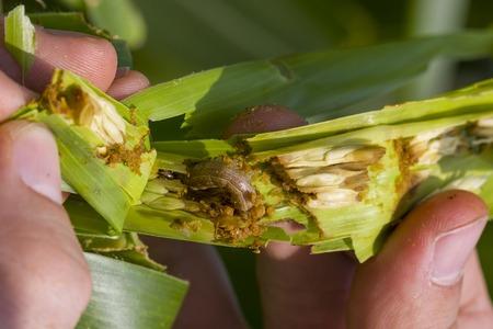 gusanos: Gusano de la caída Spodoptera frugiperda (JE Smith, 1797) en el maíz dañado Foto de archivo