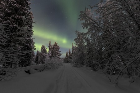 Northern lights in the spruce forest