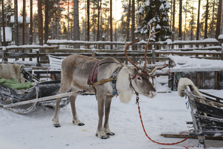 reindeer drawn sleigh in the winter Stock Photo