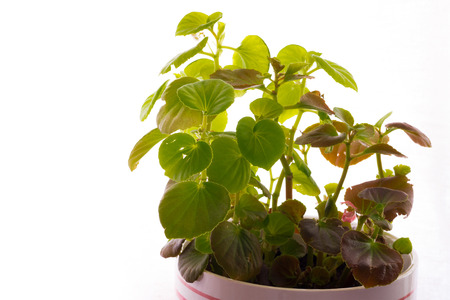 cary: Home Plant on white background Stock Photo