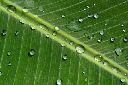 wet banana leaf photo