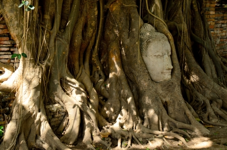 sand stone buddha head in a tree in Thailand photo