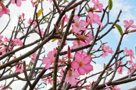 pink adenium Stock Photo - 25360238