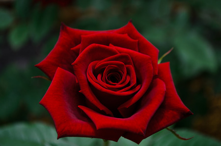 red rose Standard-Bild