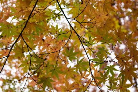 red maple leaves in Japan