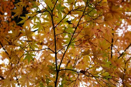 Rote Ahornblätter in Japan Standard-Bild - 70195285