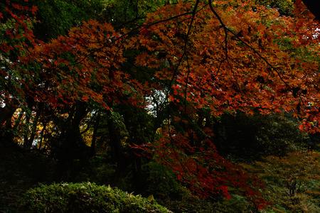 red maple leaf in Japan Standard-Bild
