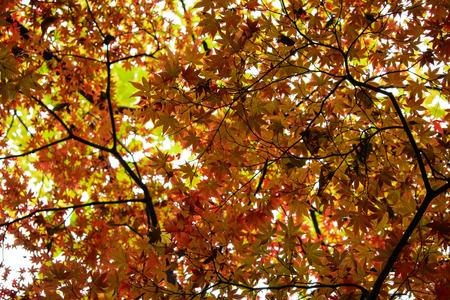 red maple leaf Standard-Bild