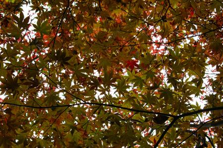 Rote Ahornbaum Standard-Bild - 67137814