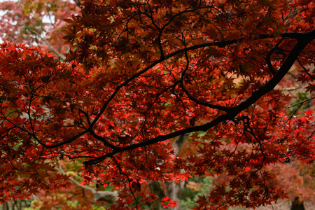 red maple tree Standard-Bild