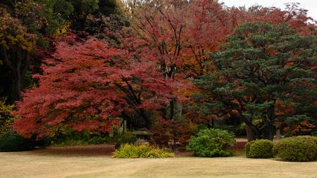 red maple tree Standard-Bild