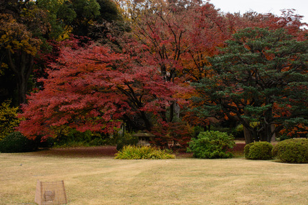 red tree in Japanese garden