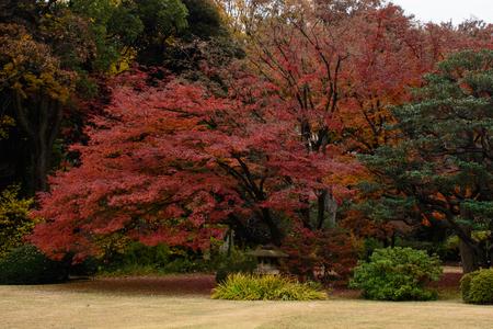 Rote Ahornbaum Standard-Bild - 70336991