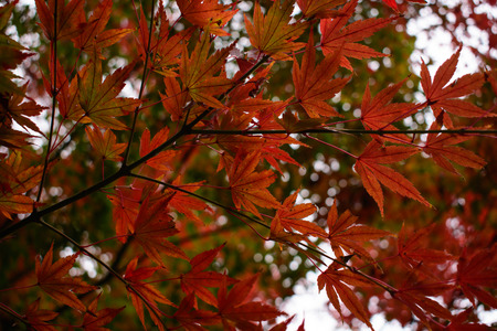 red maple leaf Standard-Bild