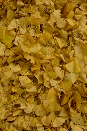 yellow ginkgo leaves on the floor
