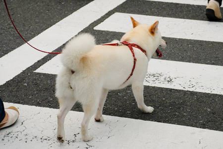 companions: Dog crossing the pedestrian lane taket at yokohama Japan. Stock Photo
