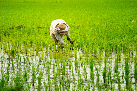 laguna: A farmer planting rice at Los Banos, Laguna, Philippines. Stock Photo