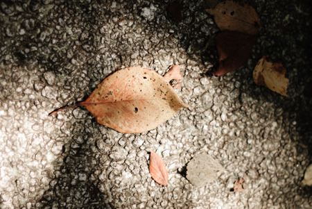 fallen leaf: Fallen leaf at the pavement,