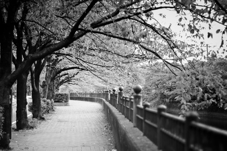 riverside trees: Morning walk at the sidewalk at the riverside under lined sakura trees.