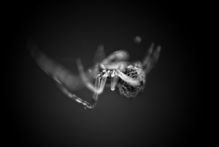 arthropods: Macro of a spider in its web using reverse lense in black and white