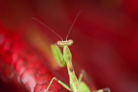 entomology: Praying Mantis in red background Stock Photo