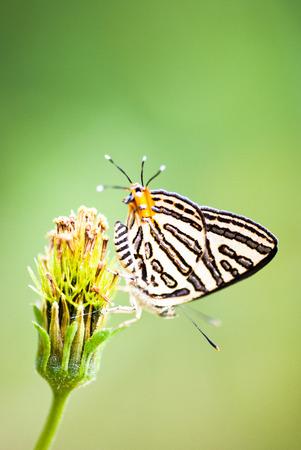 double headed: Double headed butterfly in a flower Stock Photo