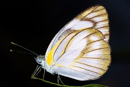 Beautiful butterfly in black background