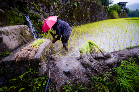 Farmer in red umbrella planting rice during rainy season at Banaue Rice Terraces, Philippines. 2017